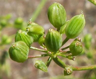 Lomatium papilioniferum