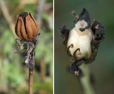Monotropa uniflora