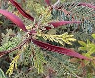 Acacia cochliacantha
