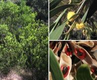 Acacia cyclops