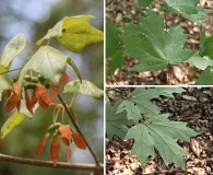 Acer floridanum