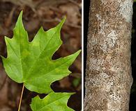 Acer leucoderme