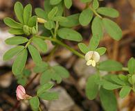 Acmispon parviflorus