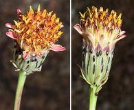 Adenophyllum porophylloides