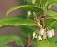 Agarista populifolia