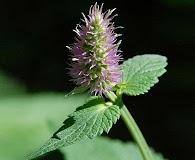 Agastache urticifolia