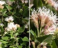 Ageratina calaminthifolia