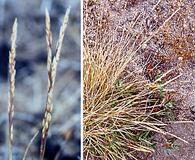 Agrostis blasdalei