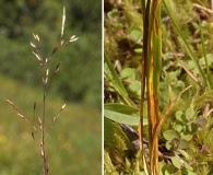 Agrostis idahoensis