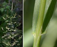 Agrostis pallens