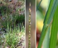 Agrostis thurberiana