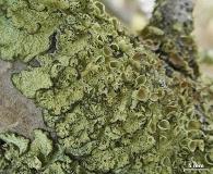Ahtiana sphaerosporella