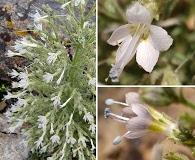 Aliciella stenothyrsa