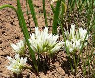 Allium brandegeei