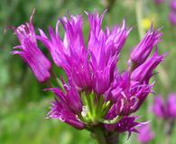 Allium brevistylum