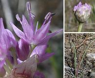 Allium columbianum