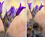 Allium denticulatum