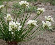 Allium textile