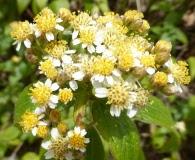 Alloispermum integrifolium