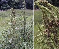 Amaranthus australis