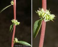 Amaranthus torreyi