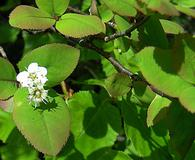 Amelanchier bartramiana