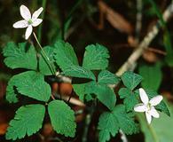 Anemone grayi