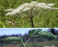 Angelica genuflexa