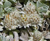 Antennaria rosulata