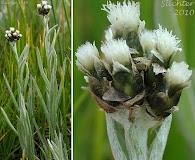 Antennaria stenophylla