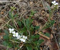 Arabidopsis lyrata