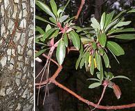 Arbutus arizonica