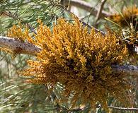 Arceuthobium campylopodum