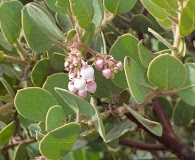 Arctostaphylos glandulosa