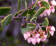 Arctostaphylos montana