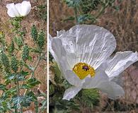 Argemone polyanthemos