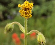 Arnica parryi
