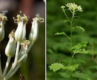 Arnoglossum atriplicifolium