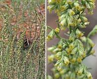 Artemisia carruthii