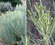 Artemisia filifolia