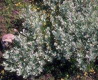 Artemisia rigida