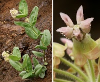 Asclepias lemmonii