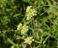 Asclepias stenophylla
