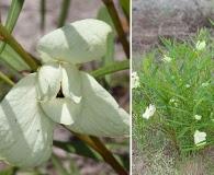 Asimina longifolia