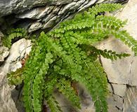 Asplenium trichomanes-ramosum
