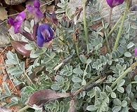 Astragalus amphioxys