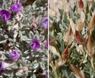 Astragalus aretioides