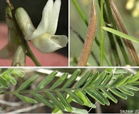 Astragalus arthurii