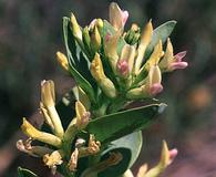 Astragalus asclepiadoides