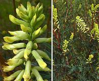 Astragalus asymmetricus